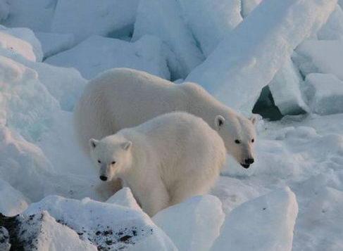 Контрольная работа на тему белый медведь 8158