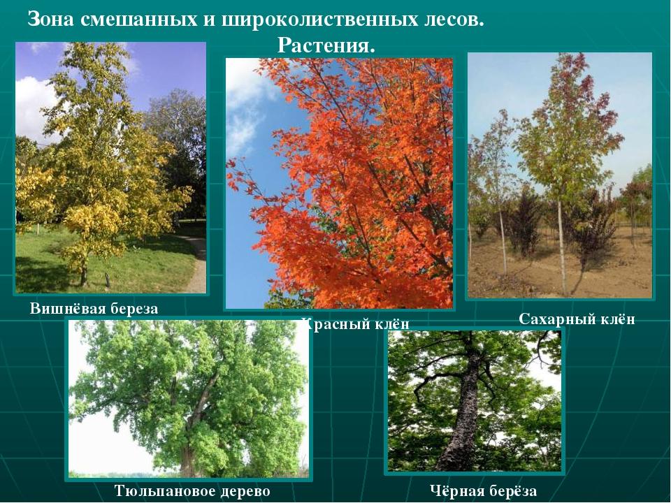 картинки растения смешанных лесов старались