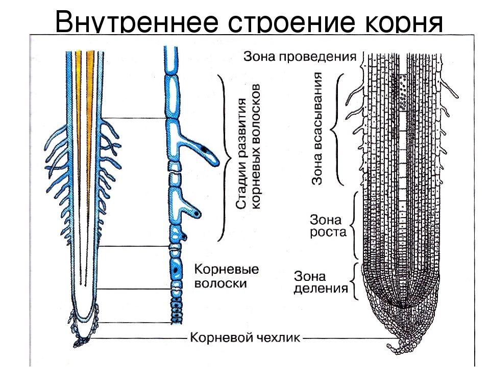 Рисунок строения растения с корнем