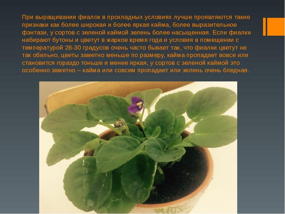 Выращивание фиалки презентация 16