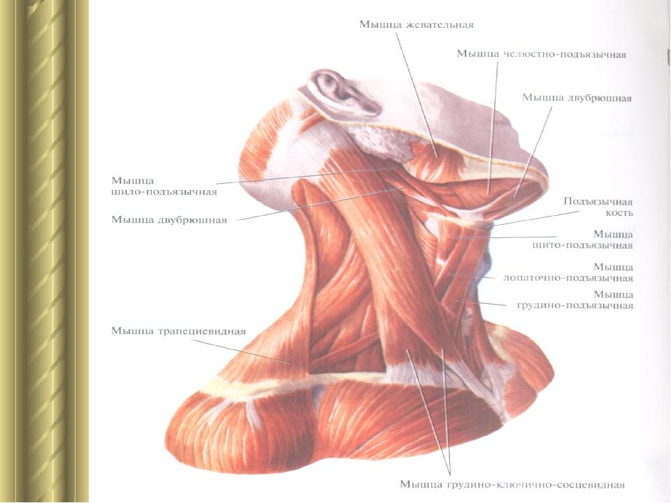 хозяин, мышцы шеи фото с описанием и схемами также