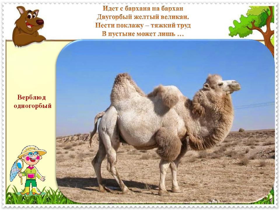Верблюд одногорбый