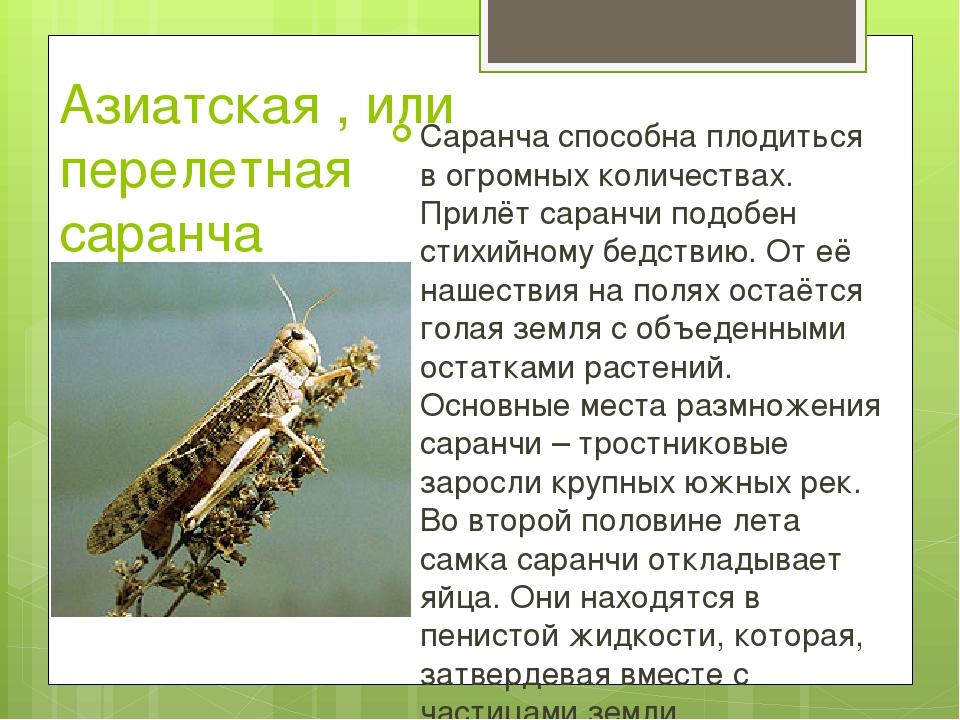 Азиатская , или перелетная саранча Саранча способна плодиться в огромных коли...