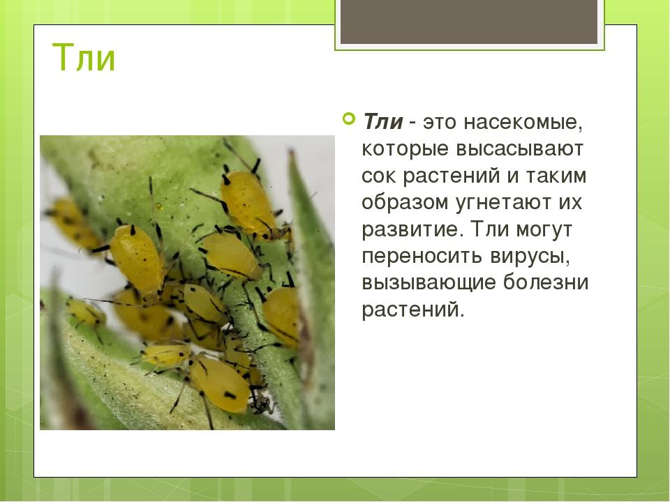 Тли Тли- это насекомые, которые высасывают сок растений и таким образом угне...