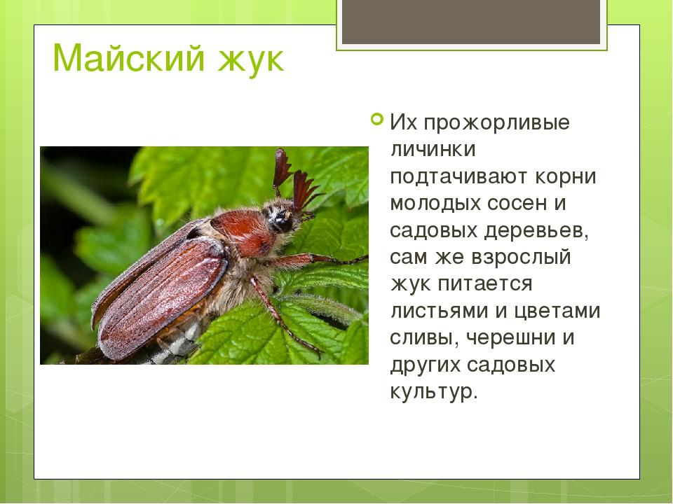 Майский жук Их прожорливые личинки подтачивают корни молодых сосен и садовых...