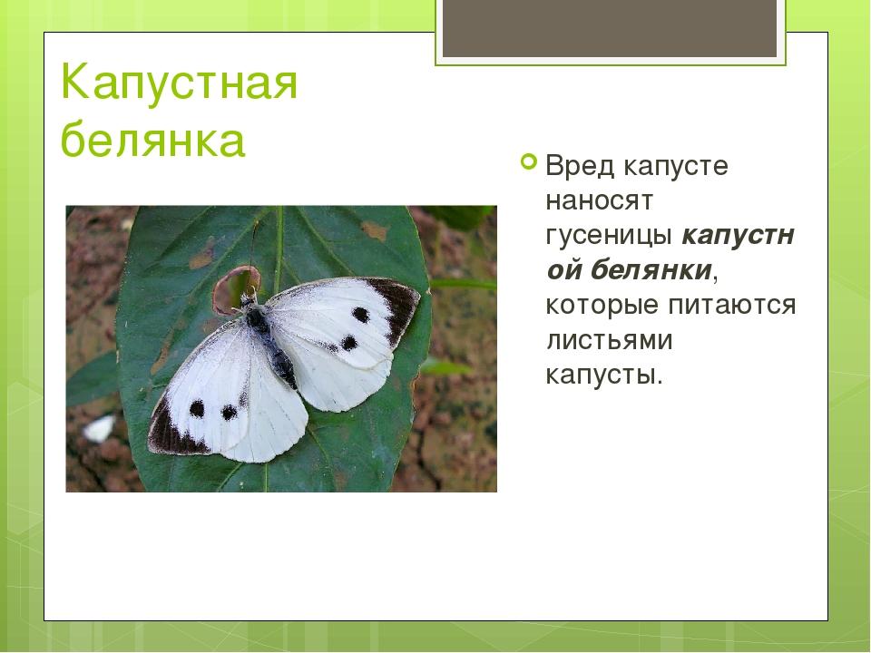 Капустная белянка Вред капусте наносят гусеницыкапустной белянки, которые пи...