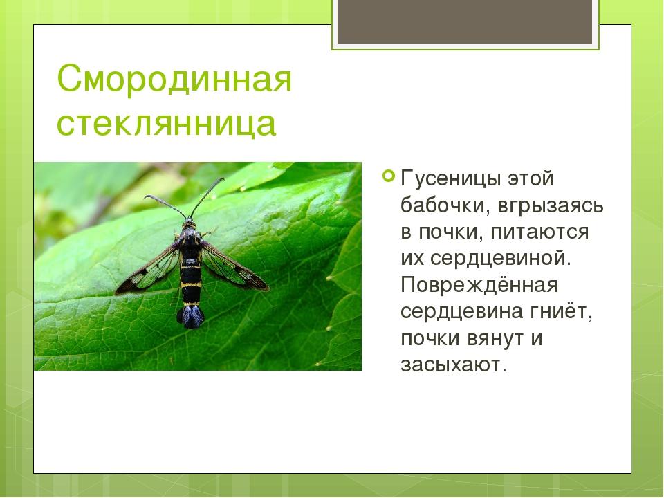 Смородинная стеклянница Гусеницы этой бабочки, вгрызаясь в почки, питаются их...