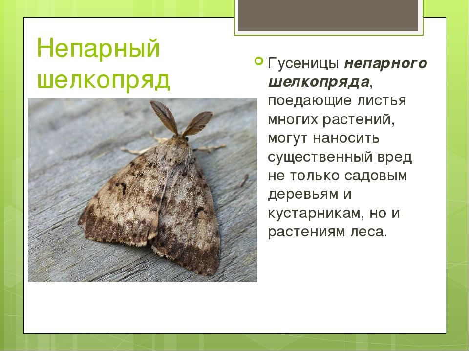 Непарный шелкопряд Гусеницы непарного шелкопряда, поедающие листья многих рас...