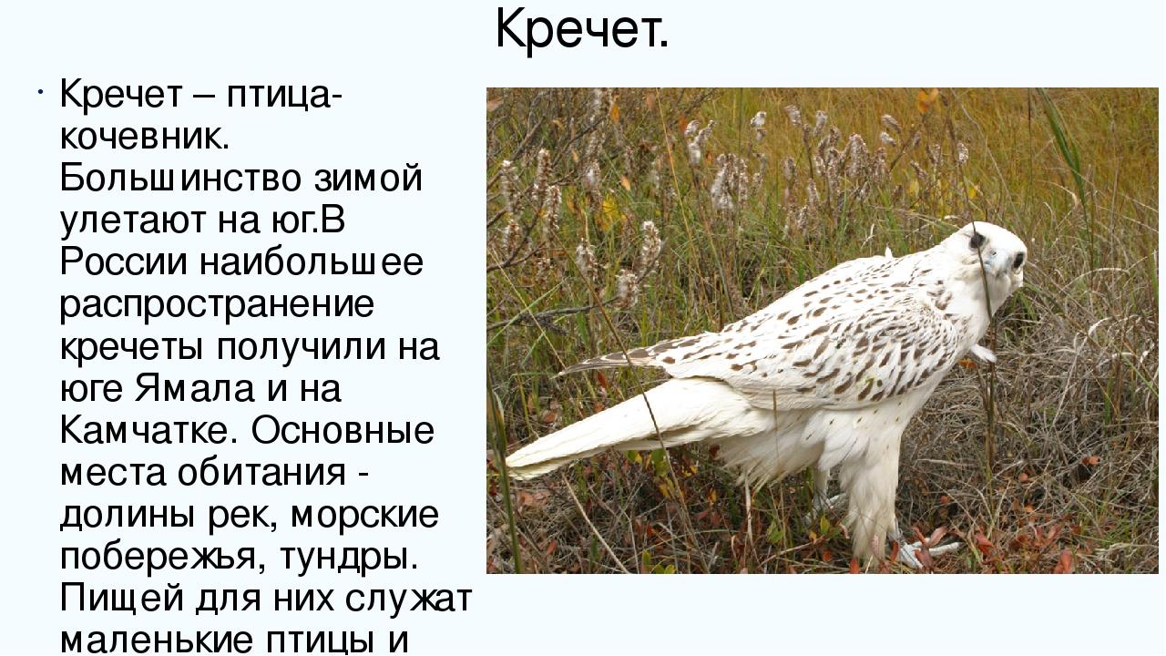 кречет фото птицы и описание рекой