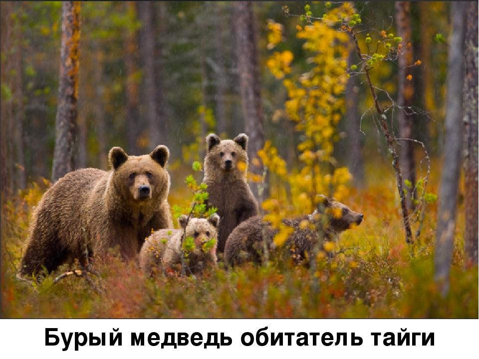 Бурый медведь обитатель тайги