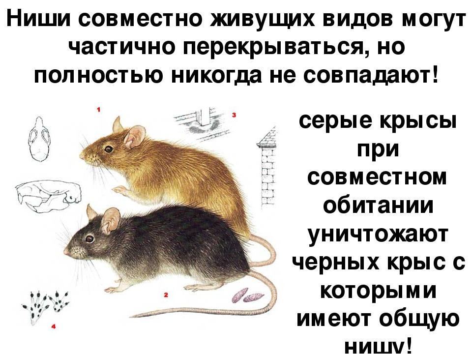 Ниши совместно живущих видов могут частично перекрываться, но полностью никог...