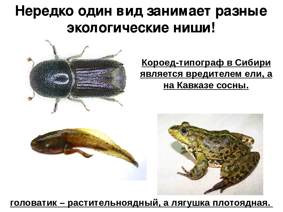 Нередко один вид занимает разные экологические ниши! Короед-типограф в Сибири...