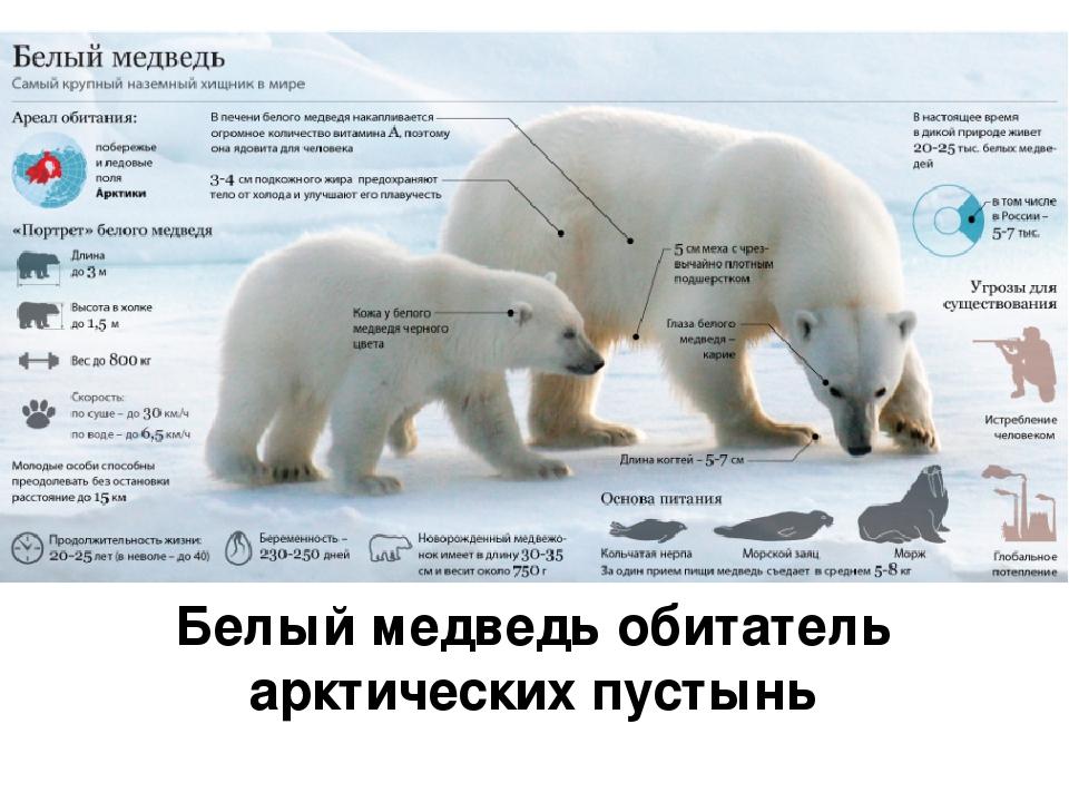 Белый медведь обитатель арктических пустынь