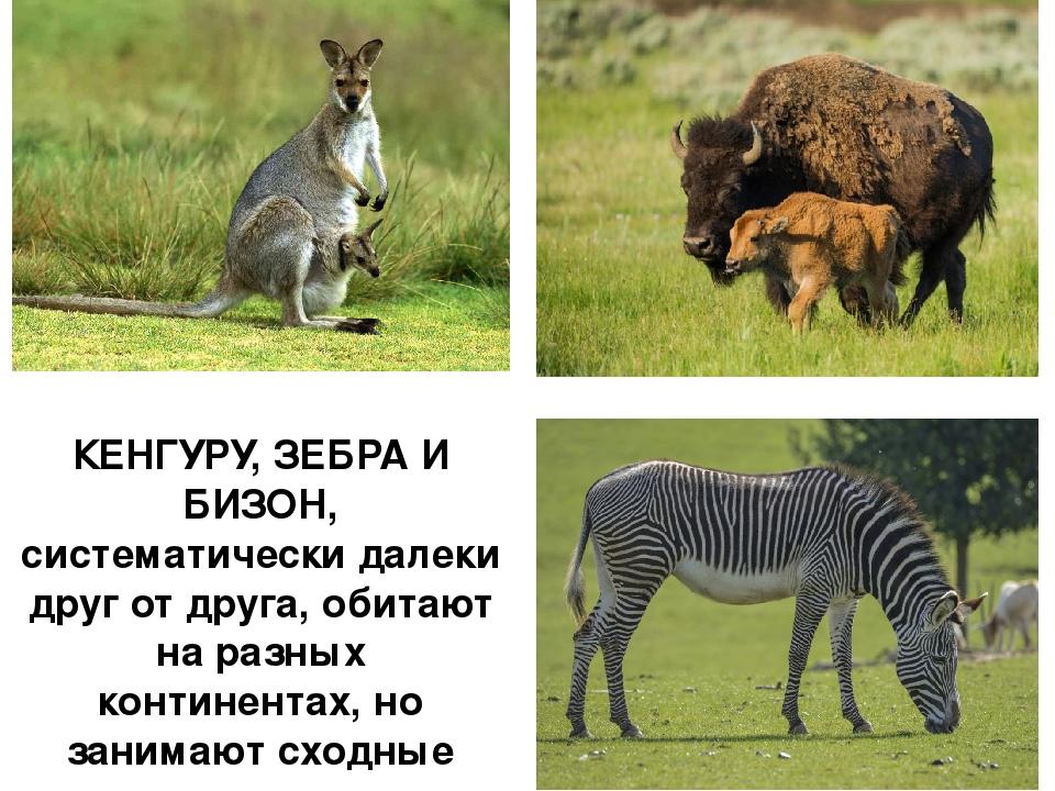 КЕНГУРУ, ЗЕБРА И БИЗОН, систематически далеки друг от друга, обитают на разны...