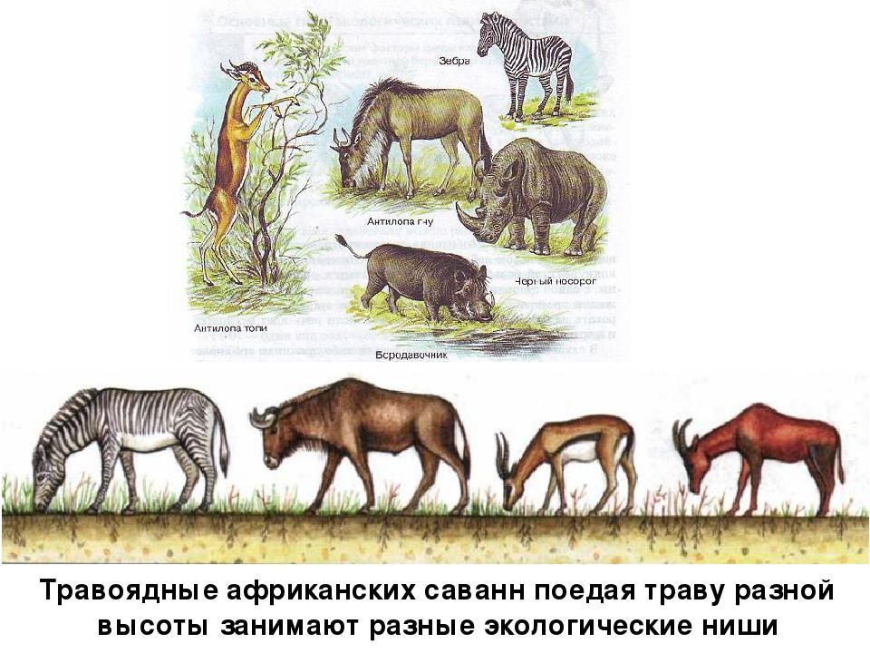 Травоядные африканских саванн поедая траву разной высоты занимают разные экол...