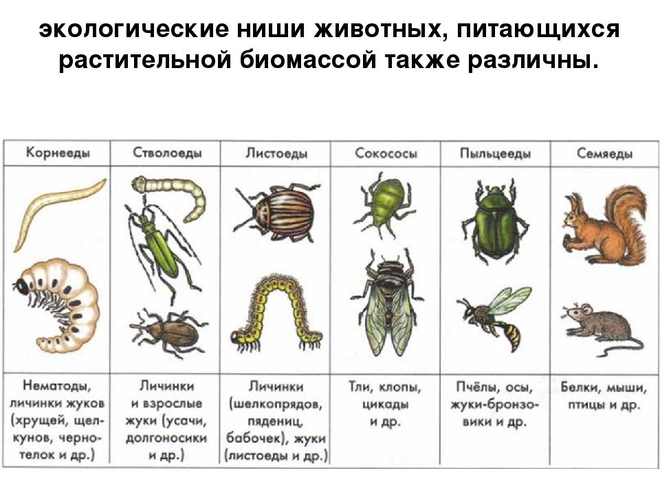 экологические ниши животных, питающихся растительной биомассой также различны.