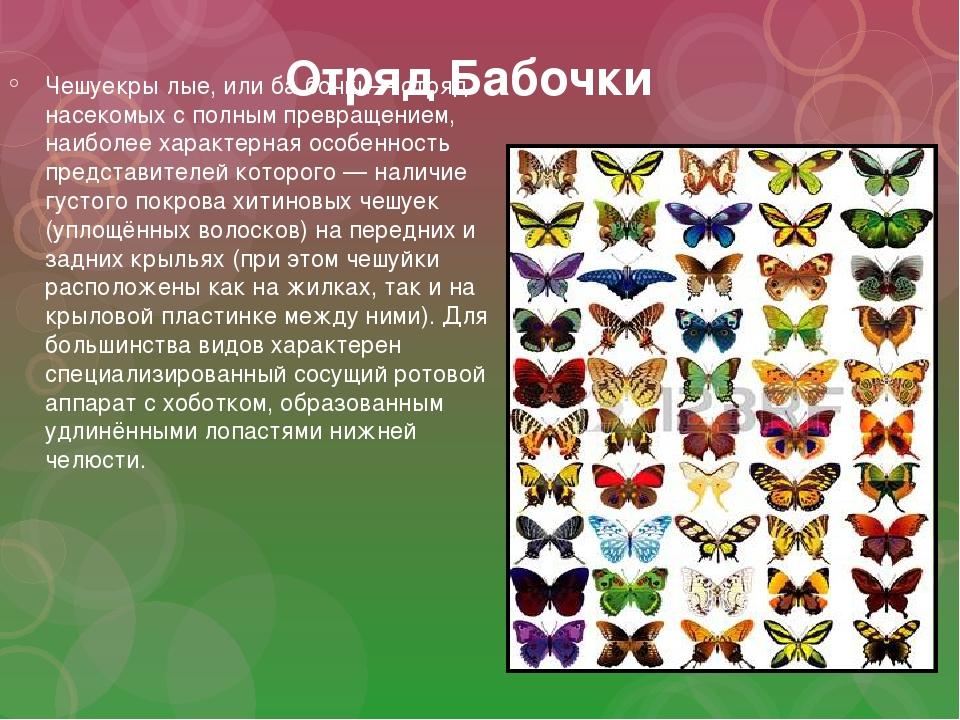 Отряд Бабочки Чешуекры́лые, или ба́бочки— отряд насекомых с полным превращени...