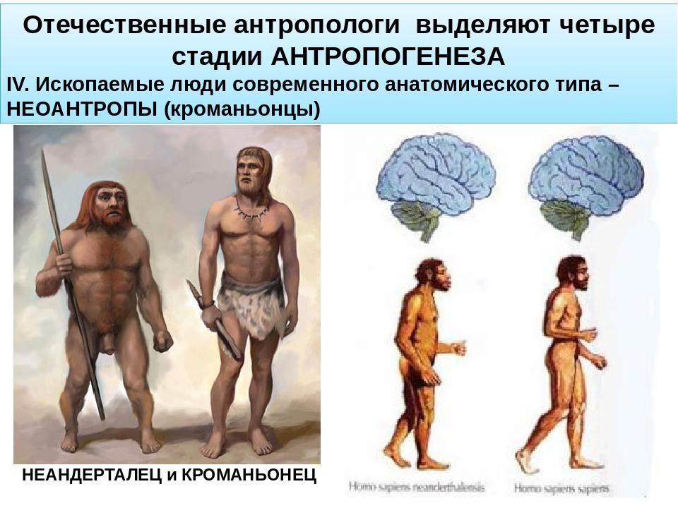 Отечественные антропологи выделяют четыре стадии АНТРОПОГЕНЕЗА IV. Ископаемые...