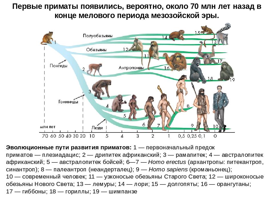 Эволюционные пути развития приматов:1—первоначальный предок приматов—пле...