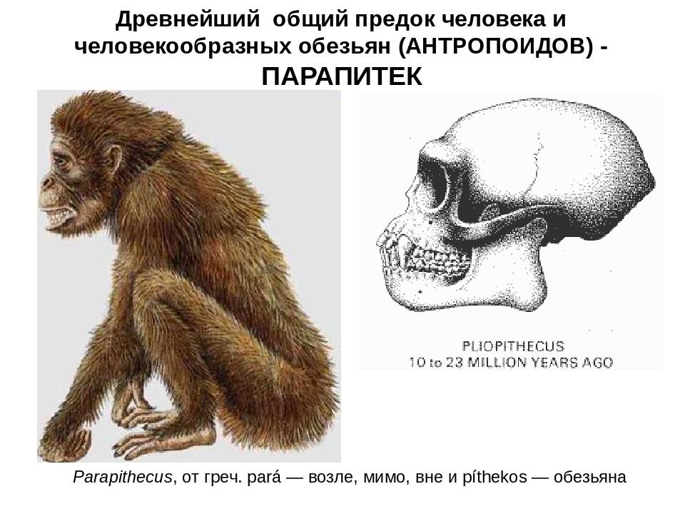 Древнейший общий предок человека и человекообразных обезьян (АНТРОПОИДОВ) - П...