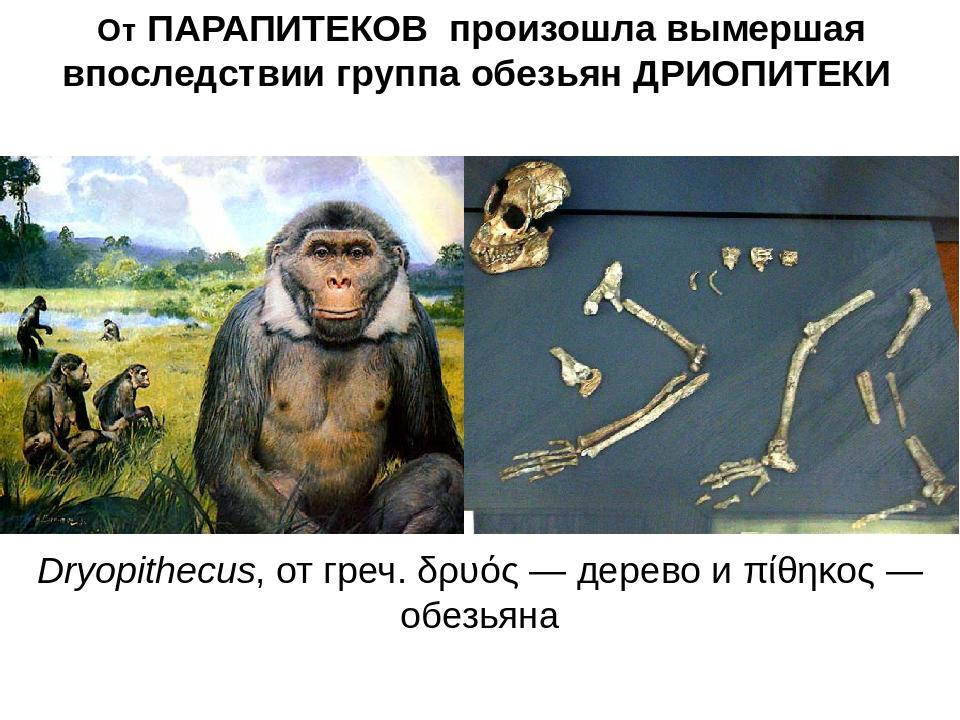 От ПАРАПИТЕКОВ произошла вымершая впоследствии группа обезьян ДРИОПИТЕКИ Dryo...