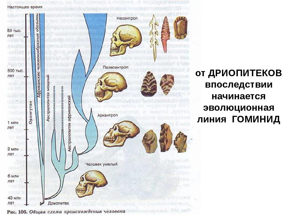 от ДРИОПИТЕКОВ впоследствии начинается эволюционная линия ГОМИНИД