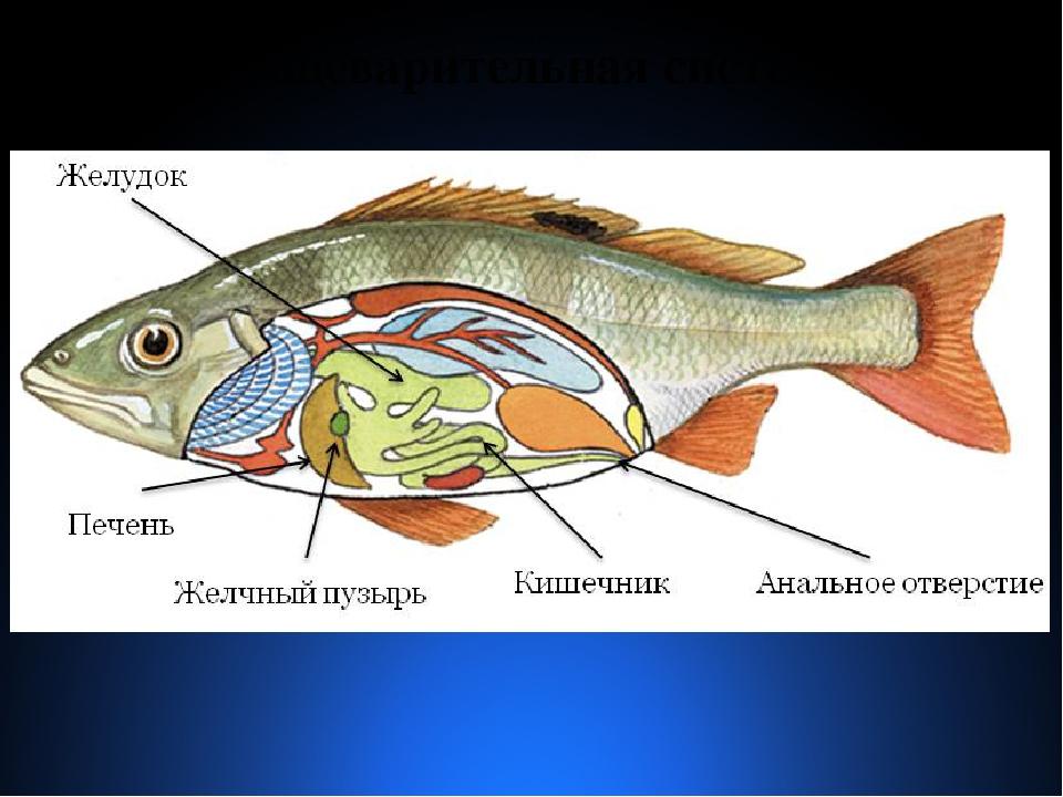 Желчь у рыбы картинки