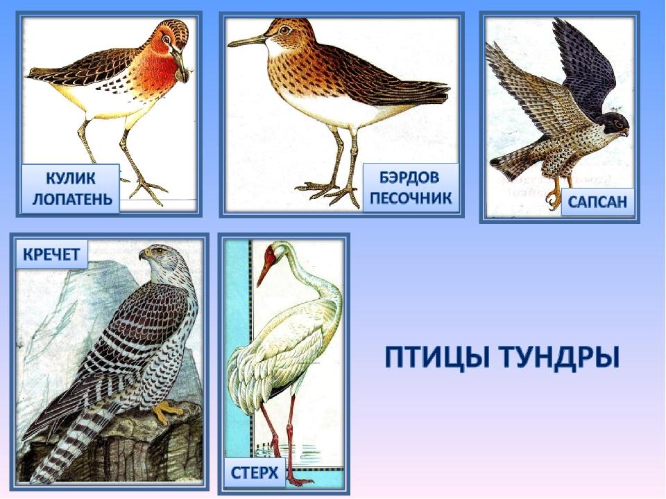 Тундра летом как разноцветный ковер:) большинство птиц лично видела:) может было холодно, потому грудина у розовой чайки белая?