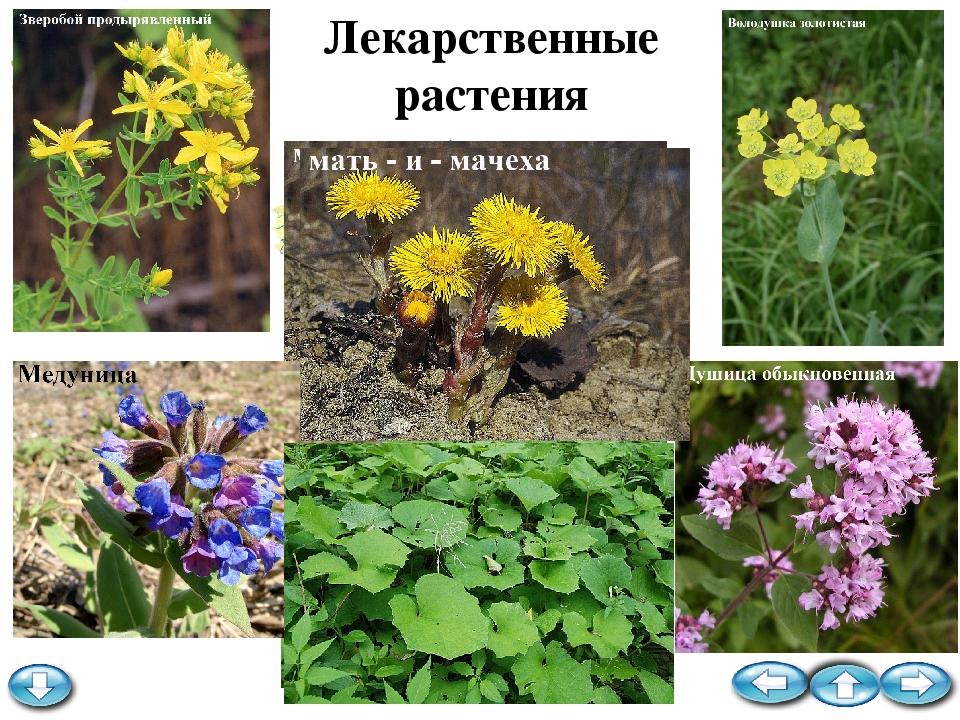 Лекарственные растения кемеровской области фото
