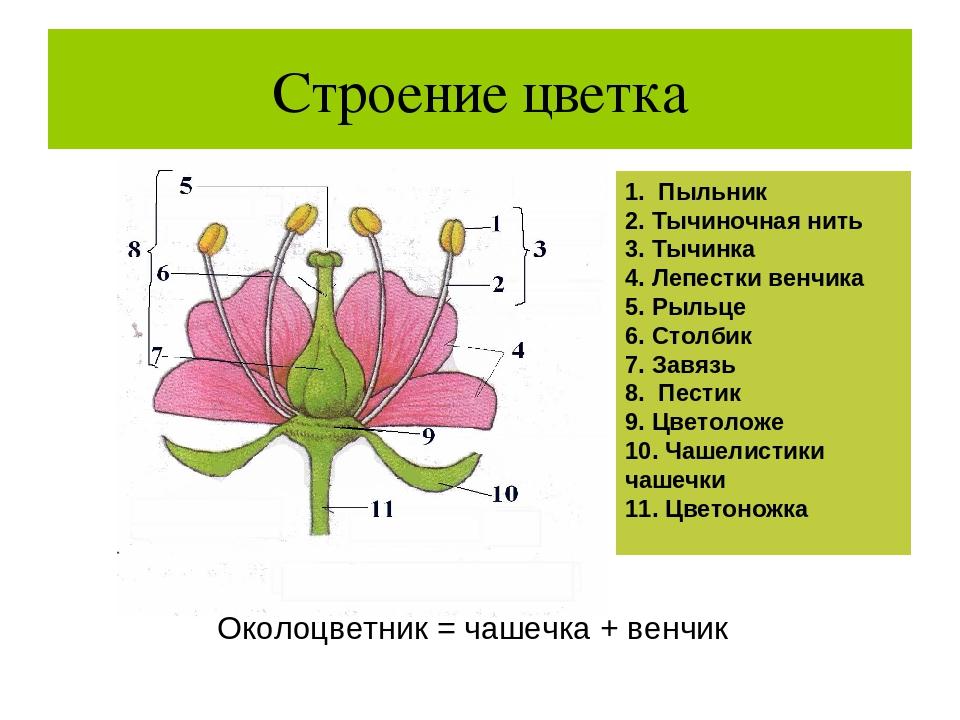 объяснения устройство цветка картинки диван-кровать подходит