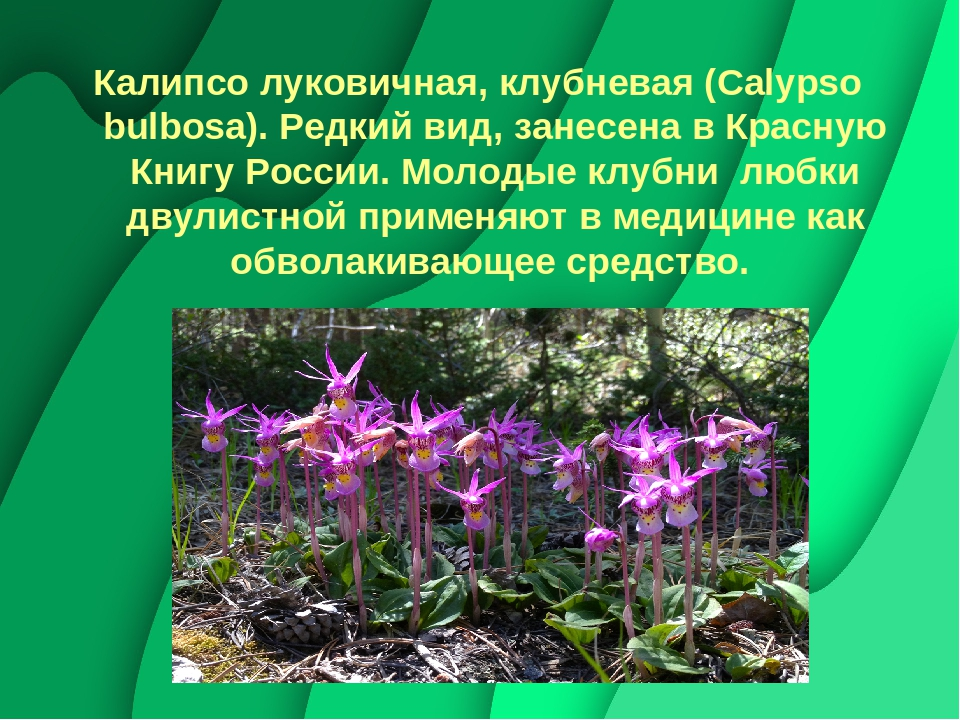 образовании цветок калипсо фото краткое описание снималась нескольких фильмах