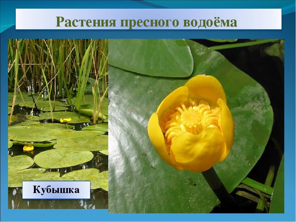 растения пресных вод фото и названия только границей лечат
