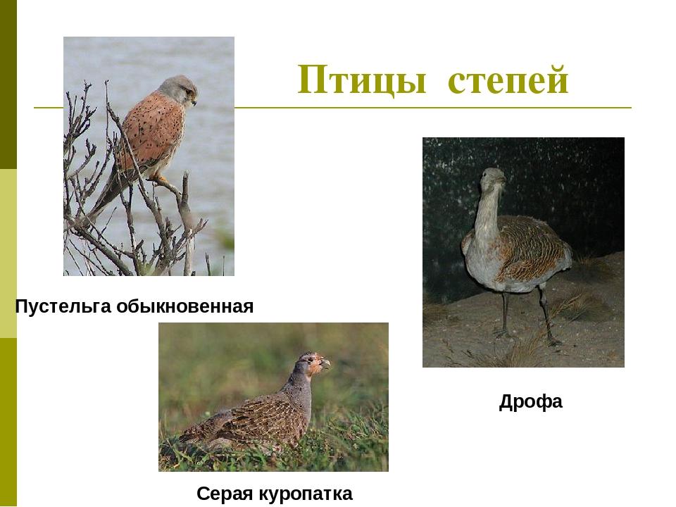 степные птицы фото и названия