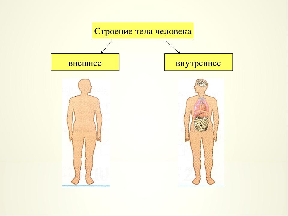 Строение тела человека внешнее внутреннее