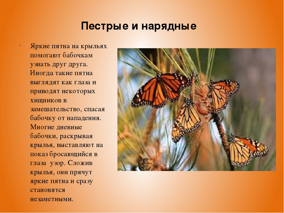Яркие пятна на крыльях помогают бабочкам узнать друг друга. Иногда такие пятн...