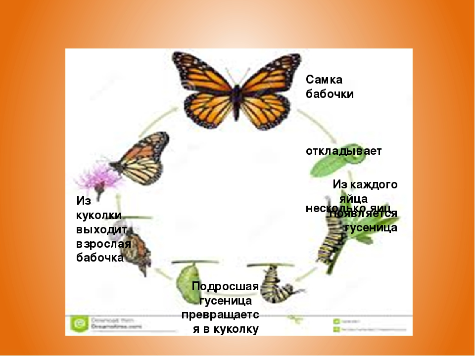 Жизненный цикл бабочки Самка бабочки откладывает несколько яиц Из каждого яй...