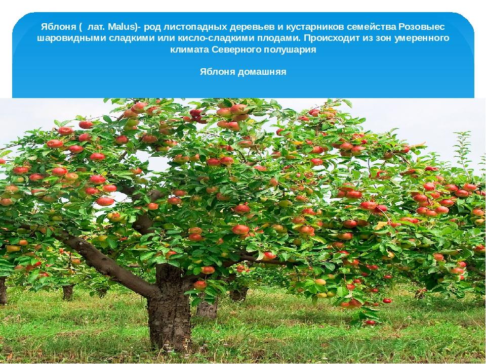 Дерево или кустарник семейства розоцветных