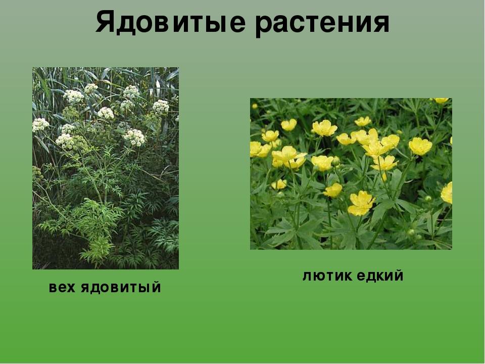 ядовитые полевые растения фото и названия лавакс моделировочный