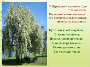 Черемуха – дерево от 2 до 15 м высотой. Королевой весны называют эту душистую
