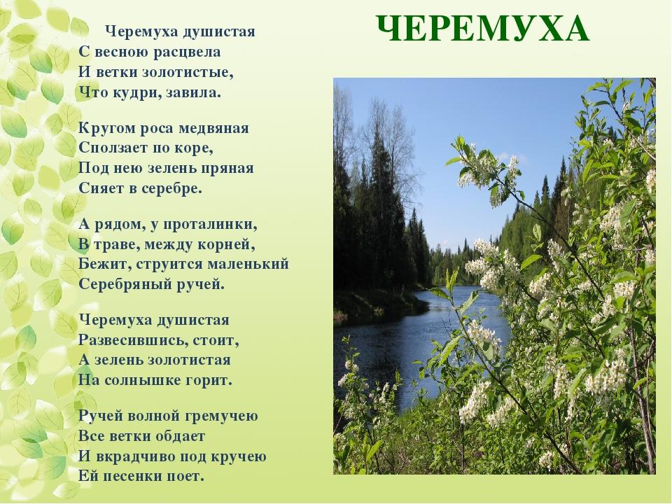 ЧЕРЕМУХА Черемуха душистая С весною расцвела И ветки золотистые, Что кудри, з...