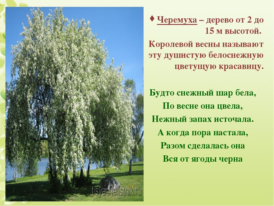 Черемуха – дерево от 2 до 15 м высотой. Королевой весны называют эту душистую...
