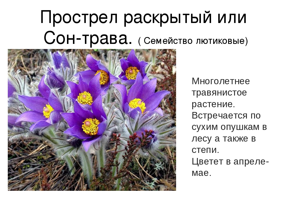 сон трава фото и описание где растет дениса