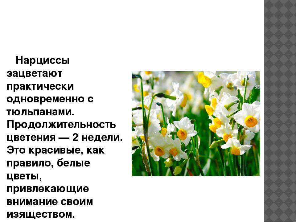 Нарциссы зацветают практически одновременно с тюльпанами. Продолжительность...