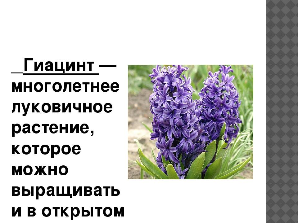 Гиацинт — многолетнее луковичное растение, которое можно выращивать и в откр...