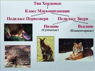 Тип Хордовые Класс Млекопитающие Подкласс Первозвери Подкласс Звери Низшие Вы