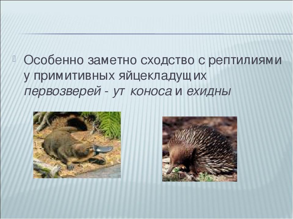 Особенно заметно сходство с рептилиями у примитивных яйцекладущих первозверей...
