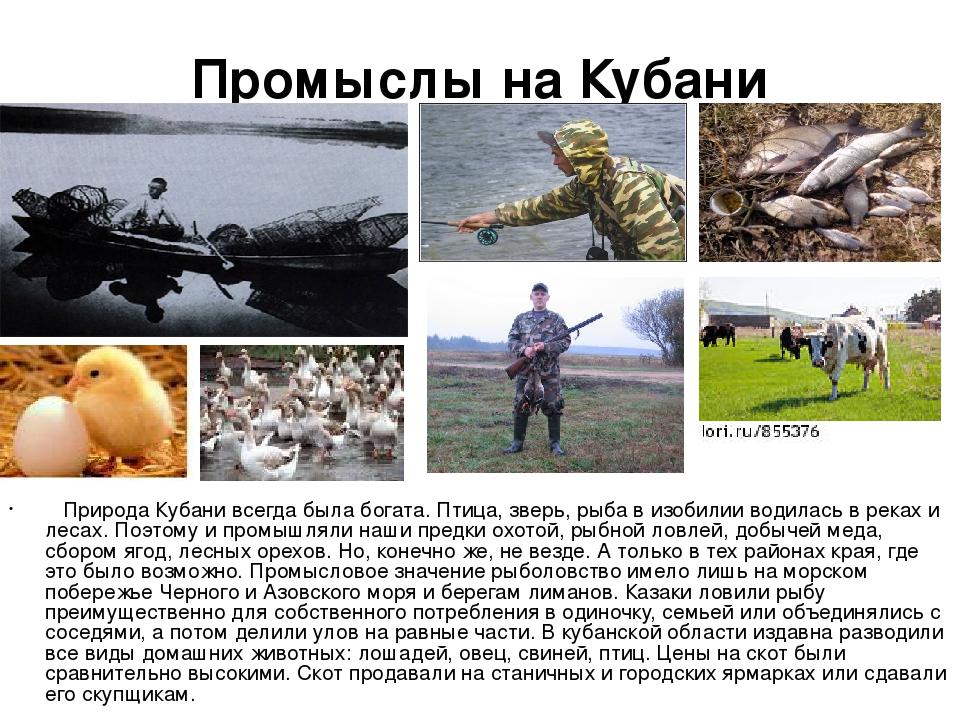 Промыслы на Кубани Природа Кубани всегда была богата. Птица, зверь, рыба в из...