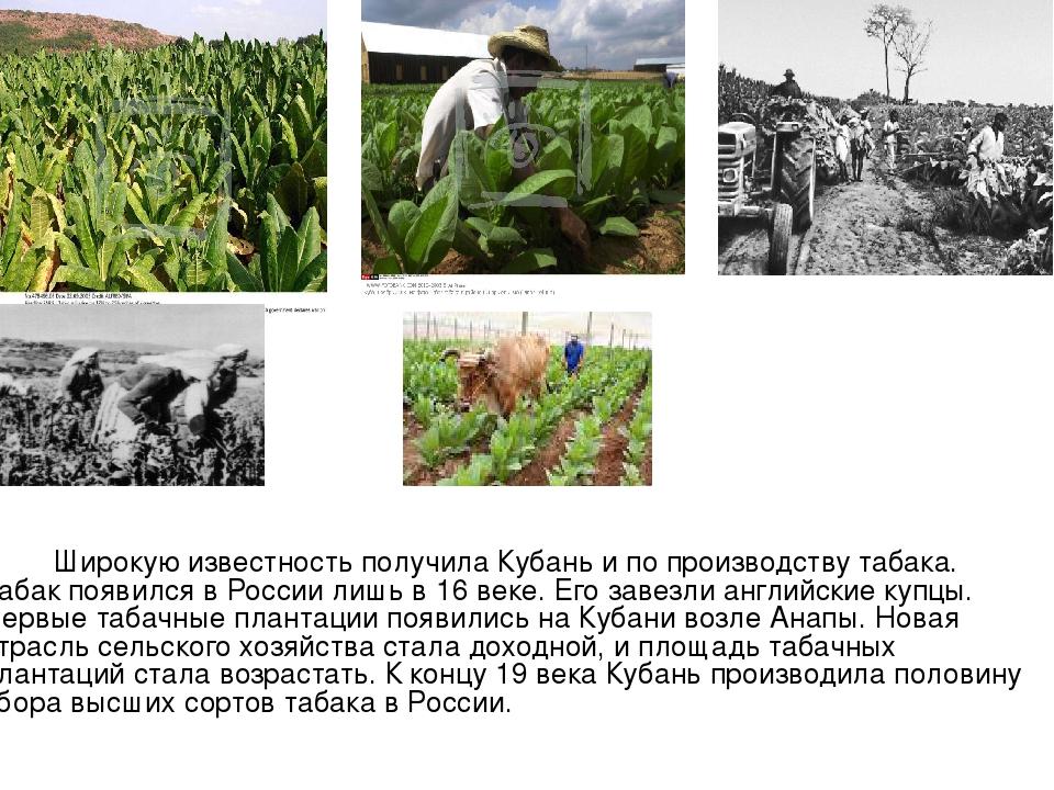 Широкую известность получила Кубань и по производству табака. Табак появился...