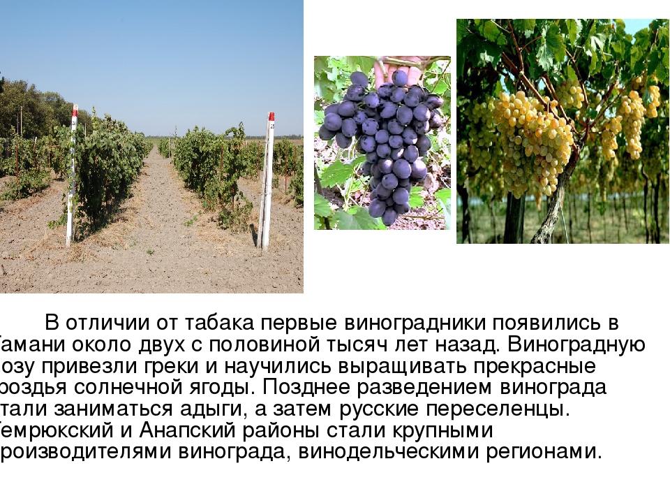 В отличии от табака первые виноградники появились в Тамани около двух с поло...