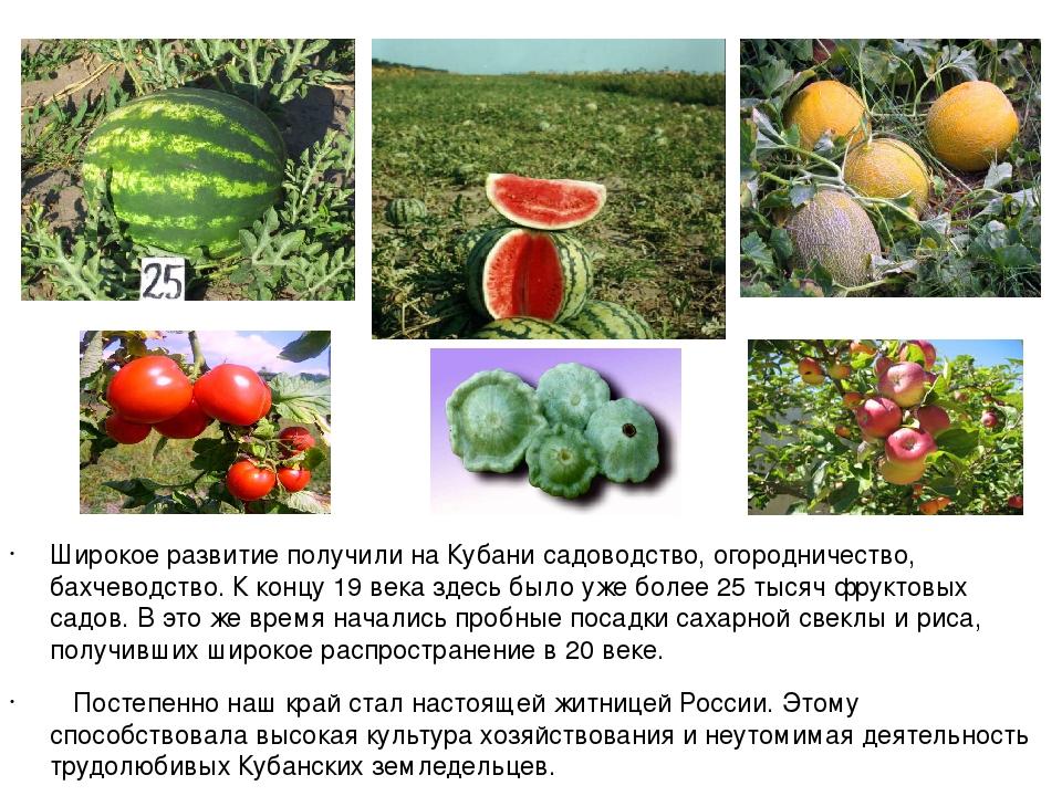 Широкое развитие получили на Кубани садоводство, огородничество, бахчеводств...